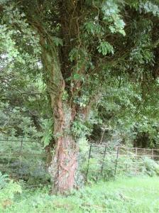 An ancient hawthorn tree at Caldragh.